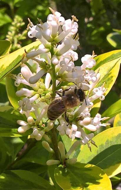 Biene auf Ligusterblüte