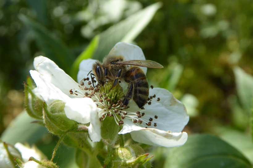Honigbiene auf Brombeerblüte