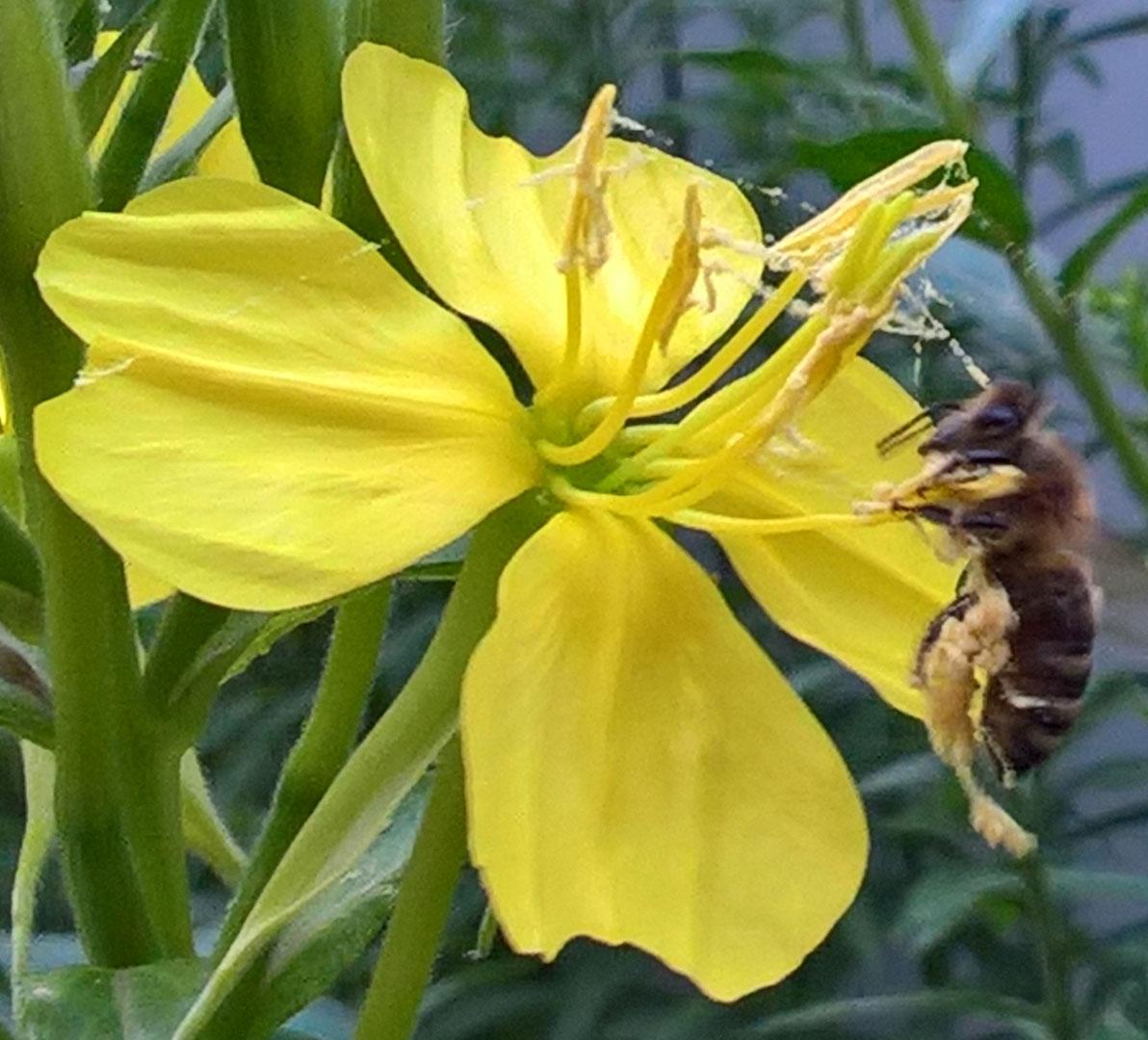 Biene an Nachtkerze